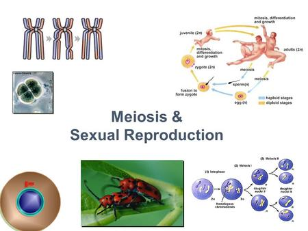 2007-2008 Meiosis & Sexual Reproduction Cell division / Asexual reproduction Mitosis produce cells with same information identical daughter cells exact.