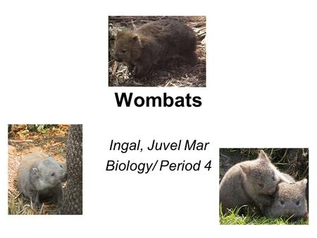 Wombats Ingal, Juvel Mar Biology/ Period 4. What Are Wombats and Where Do They Live? They are: –Australian Marsupials They are called marsupials because.