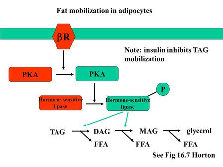 RR PKA Hormone-sensitive lipase TAG DAG MAG glycerol FFA Hormone-sensitive lipase P See Fig 16.7 Horton Fat mobilization in adipocytes Note: insulin.