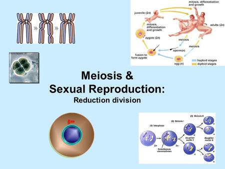 Meiosis & Sexual Reproduction: Reduction division.