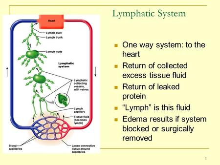 "1 Lymphatic System One way system: to the heart Return of collected excess tissue fluid Return of leaked protein ""Lymph"" is this fluid Edema results if."