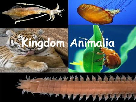 Kingdom Animalia. General Characteristics Eukaryotic Multicellular No cell walls Move to find the following: –Food –Shelter –Protection –Mates.