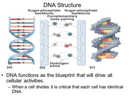 DNA Structure DNA functions as the blueprint that will drive all cellular activities. –When a cell divides it is critical that each cell has identical.
