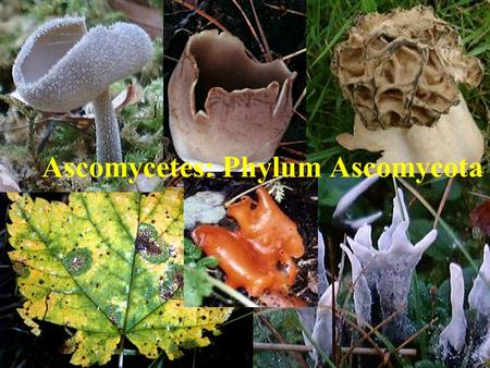 Ascomycetes: Phylum Ascomycota. Ascomycetes Group of fungi characterized by their production of sexual spores in a sac-like structure called an ascus.