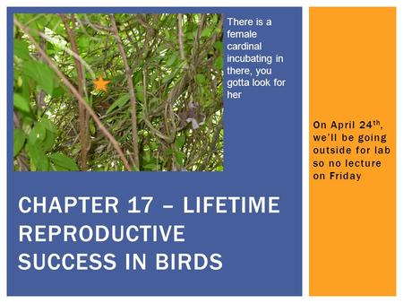 On April 24 th, we'll be going outside for lab so no lecture on Friday CHAPTER 17 – LIFETIME REPRODUCTIVE SUCCESS IN BIRDS There is a female cardinal incubating.