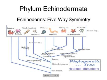 1 Phylum Echinodermata Echinoderms: Five-Way Symmetry.