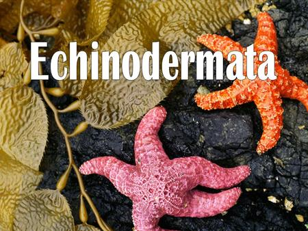 Echinoderm Classes Asteroidea – Sea Stars : Multiple arms radiating from central disk Tube feet on bottom Ophiuroidea – Brittle Stars: Distinct central.