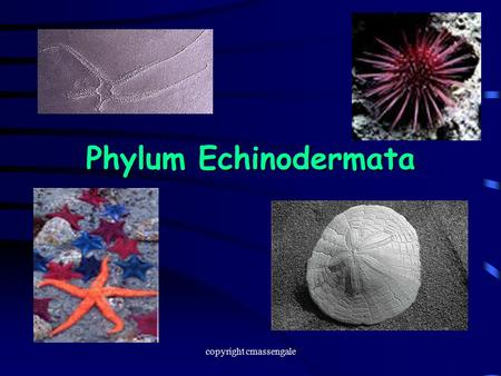 "Phylum Echinodermata copyright cmassengale. Diversity  Echinodermata means ""spiny skin""  Echinoderms usually inhabit shallow coastal waters and ocean."