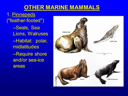1. Pinnepeds (feather-footed) –Seals, Sea Lions, Walruses –Habitat: polar, midlatitudes –Require shore and/or sea-ice areas OTHER MARINE MAMMALS.