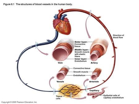 Copyright © 2009 Pearson Education, Inc. Figure 8.1 The structures of blood vessels in the human body.