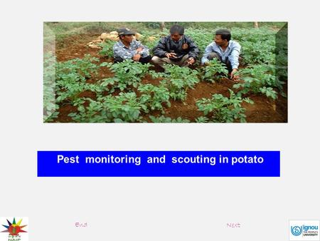Pest monitoring and scouting in potato End Next. Pest management actions are based on data collected through pest monitoring, which involves survey/field.