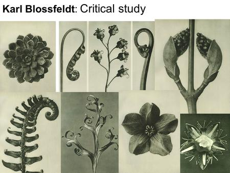 Karl Blossfeldt: Critical study. Connector: What words can you use to describe Blossfeldt's work below: texture Unusual Black and white detail tone delicate.
