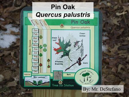 Pin Oak Quercus palustris By: Mr. DeStefano. Pin Oak Taxonomy Kingdom: Plantae (Plants) Phylum: Magnoliophyta (Angiosperms) Class: Rosopsida (Eudicot)