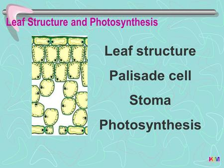 Leaf Structure and Photosynthesis Leaf structure Palisade cell Stoma Photosynthesis.