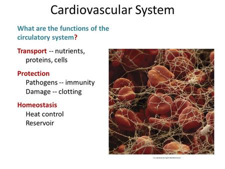 What are the functions of the circulatory system? Transport -- nutrients, proteins, cells Protection Pathogens -- immunity Damage -- clotting Homeostasis.