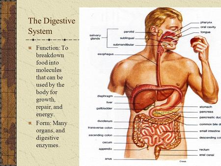 The Digestive System Function: To breakdown food into molecules that can be used by the body for growth, repair, and energy. Form: Many organs, and digestive.