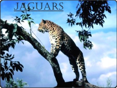 Jaguars. Facts..  Jaguars are mainly found in the Amazon rainforest and in India.  Jaguars love to swim and to soak in the water. The jaguar's habitat.