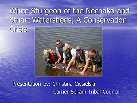 White Sturgeon of the Nechako and Stuart Watersheds; A Conservation Crisis Presentation by: Christina Ciesielski Presentation by: Christina Ciesielski.