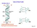 Fig.1.8 DNA STRUCTURE 5' 3' Antiparallel DNA strands Hydrogen bonds between bases DOUBLE HELIX 5' 3'