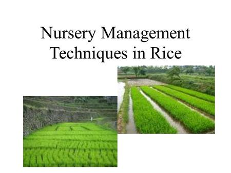 Nursery Management Techniques in Rice.  Nursery is the place where raise seedlings with special care until transplanting There are 5 rice nursery systems,