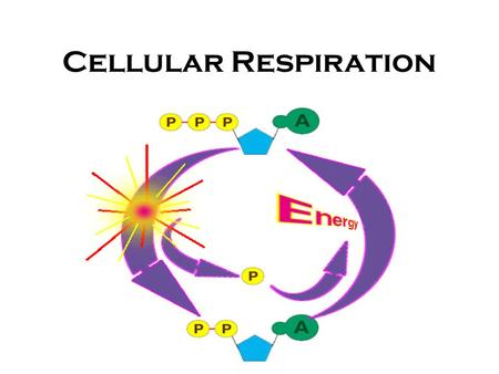 Cellular Respiration. Process cells use to harvest energy from organic compounds and convert it into ATP Breakdown of Glucose C 6 H 12 O 6 +6O 2 6CO 2.