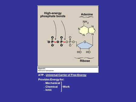 ATP _ Universal Carrier of Free Energy _ Chemical _ Ionic Provides Energy for: _ Mechanical Work.