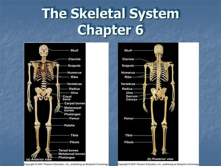 The Skeletal System Chapter 6. The Skeletal System The skeletal system includes:  Bones  Cartilages  Joints (articulations)  Ligaments  Other connective.