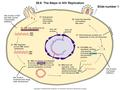 Copyright © The McGraw-Hill Companies, Inc. Permission required for reproduction or display. 29.6 The Steps in HIV Replication Slide number 1 (1) Viral.