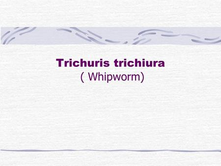 Trichuris trichiura ( Whipworm). Trichuris Trichiura I. Morphology : Adult: the worm looks like a buggy whip, the anterior 3/5 is slender and the posterior.