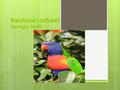 Rainbow Lorikeet Georgia Smith. Introduction  The Rainbow Lorikeet is a bird.