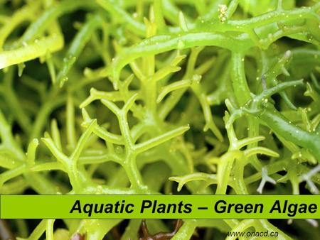 Aquatic Plants – Green Algae www.onacd.ca. Green Algae ChlamydomonasSpirogyraUlva There are approximately 6000 species of green algae. Many live their.