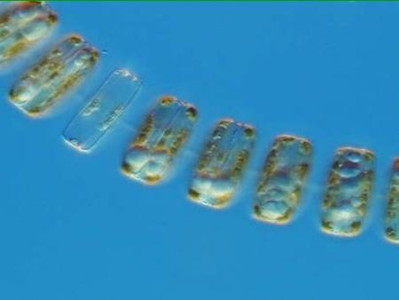 Diatom Thalassiosira pseudonana 1.Eukaryote 2.Nuclei in Cells 3.Single Celled 4.No cell wall 5.Autotroph 6.Sessile (but planktonic– floats in the current.