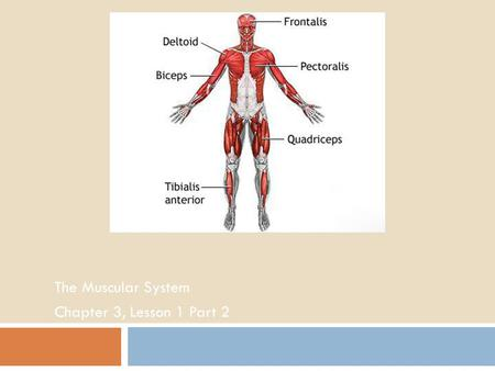 The Muscular System Chapter 3, Lesson 1 Part 2. Introduction to the Muscular System  Deltoid  Trapezius  Triceps  Biceps  Abdominal Muscles  Quadriceps.