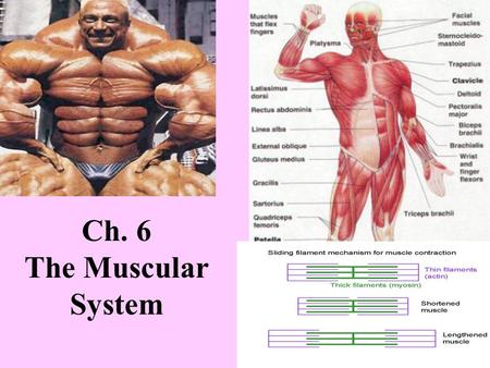 Ch. 6 The Muscular System. You are selected for an internship at the National Space Biomedical Research Institute in Houston, Texas. Part of your job.