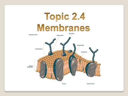 Functions of the plasma membrane 1.Holds the cell together 2.Controls what goes in and out (diffusion, osmosis, active transport) 3.Protects the cell.