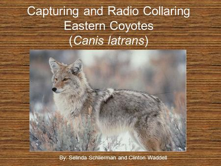 Capturing and Radio Collaring Eastern Coyotes (Canis latrans) By: Selinda Schlierman and Clinton Waddell.