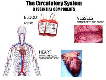 The Circulatory System 3 ESSENTIAL COMPONENTS VESSELS TRANSPORTS THE BLOOD HEART PUMPS THE BLOOD THROUGH THE BODY BLOOD Carrier.