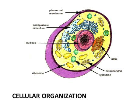 CELLULAR ORGANIZATION. Organisms Are Made of Cells Some organisms are single-celled (unicellular) – Ex. Bacteria, Protists (euglena, paramecium, algae),