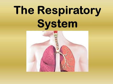 The Respiratory System. What is the Purpose? The respiratory system allows oxygen to enter the blood and carbon dioxide to exit the blood. We would not.