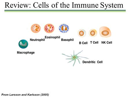 Review: Cells of the Immune System From Larsson and Karlsson (2005)