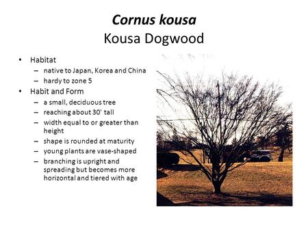 Cornus kousa Kousa Dogwood Habitat – native to Japan, Korea and China – hardy to zone 5 Habit and Form – a small, deciduous tree – reaching about 30' tall.