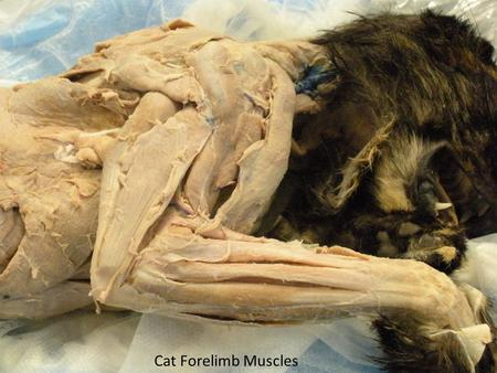 Cat Forelimb Muscles. Long Head- Triceps brachii m. Lateral Head-Triceps brachii m. Spinous head-Deltoideus m. Acromial Head-Deltoideus Brachiocephalicus.