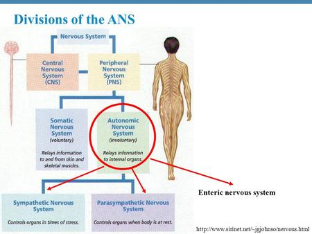 Copyright © 2010 Pearson Education, Inc.  Enteric nervous system Divisions of the ANS.