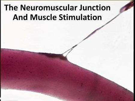 The Neuromuscular Junction And Muscle Stimulation.