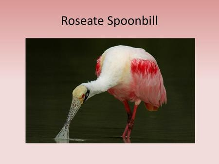 "Roseate Spoonbill. What is it? A ""wading"" bird Lives in Florida Feeds on: – Invertebrates – Amphibians – Fish."