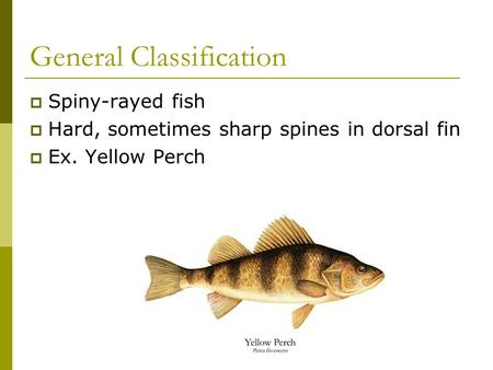 General Classification  Spiny-rayed fish  Hard, sometimes sharp spines in dorsal fin  Ex. Yellow Perch.
