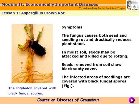 Symptoms The fungus causes both seed and seedling rot and drastically reduces plant stand. In moist soil, seeds may be attacked and killed due to rotting.