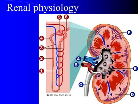 Renal physiology. Major Functions of the Kidneys produce urine?