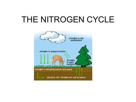 THE NITROGEN CYCLE. Importance of Nitrogen in amino acids (building blocks of proteins) in nucleic acids (ex. DNA)