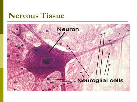 Nervous Tissue. Neuron (motor)  Nerves – bundles of neurons held together by connective tissue (found in PNS)  Neurons – specialized nerve cells that.